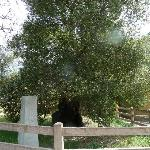 The Oak of the Golden Dream