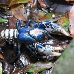 Eastacus sulcatus - Lamington spiny crayfish