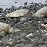 Turtles regularly visit