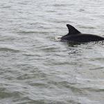 Dolphin encounter on the Caladesi Ferry