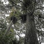 Big Trees in the Bush