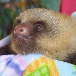 another rescued baby sloth