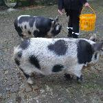 The Piggies