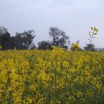 Sprawling 'sarson' field...