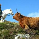 Highland Pony and Highland Cow