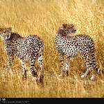 Cheetahs on the plains