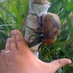 elephant beetle at the restaurant while I was having breakfast