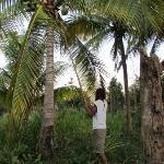 Coconut tree in the farm