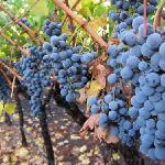 Cabernet Sauvigon ripening at the winery