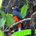 Baird's Trogon seen on Guaymi tour near lodge