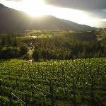 Evening sun catches the vineyard in May