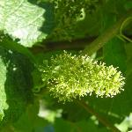 flowering Baby-grape