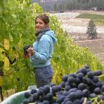 grape picking (Merlot)