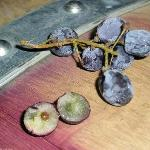 Frozen Syrah grape for Icewine 2010