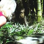 roaming iguana