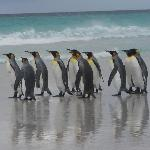 King penguins at Volunteer Beach