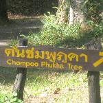 Sign pointing towards one of the famous Chompoo Phukha trees