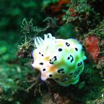 Bellissimo nudibranco