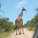 giraja en el camino en Kruger Park