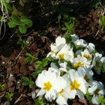 the spring is coming .... that is the first flowers ......