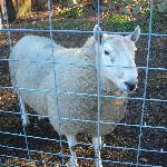 Sheep at the Sheep Pasture