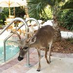 One of the key deer who come to say