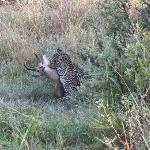 elusive leopard with kill