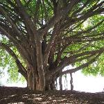 Moreton Bay Fig tree in the park