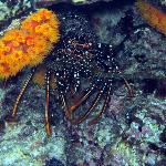 A spiny lobster