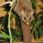 Man Friday's Possum