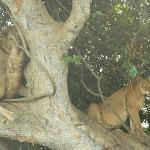 The fig tree nets two lions in the southern circuit