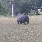 A rhino wandering along in front of Nottens