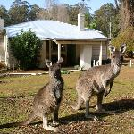 Kangaroos at the back of #23 - not scared at all!
