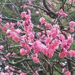鎌倉一の早咲きの梅