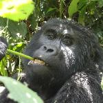 Gorilla (Fam. Habinyanja)