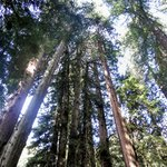 Magestic Muir Woods