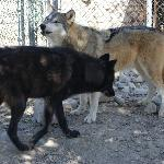 howling the alpha and the shy one