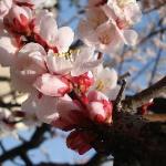 早めの桜です