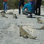 las iguanas al lado del lago