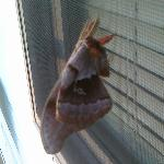Springtime Sphynx (?) moth