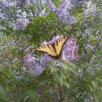Springtime Swallowtail butterfly feasting on lilacs