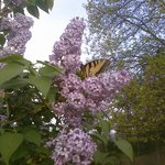 Another Swallowtail butterfly feasting on lilacs