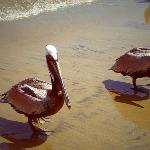 Pelícanos en la playa del hotel