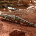 Croc going for a walk