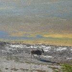 Antilope in De Hoop