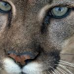 The hypnotic eyes of the cougar - mesmerizing