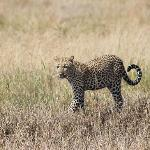Leopard found short distance away