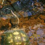 Large Turtle Eating a Snake