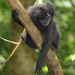 Black Crested Macaque @ Tangkoko