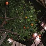 Orange tree in the courtyard